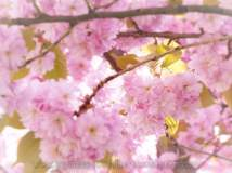 tn_watermarked-cherry blossom 07