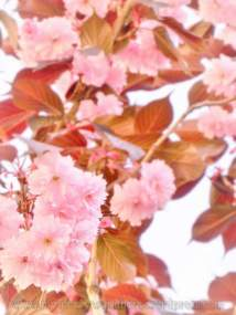 tn_watermarked-cherry blossom 10